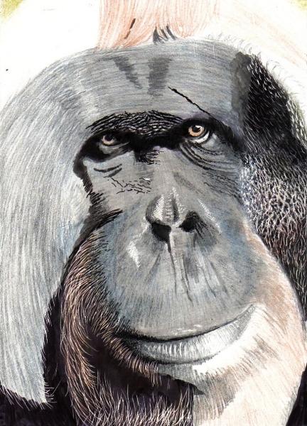 Orangutan (1)