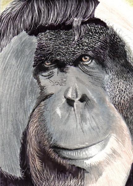 Orangutan (2)