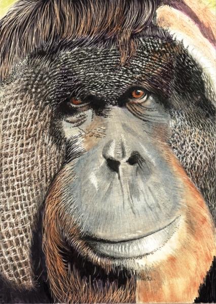 Orangutan (3)