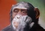 I remember a time, Chimp