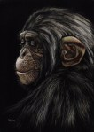 Contemplation, Chimpanzee