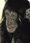 Worried, Chimpanzee