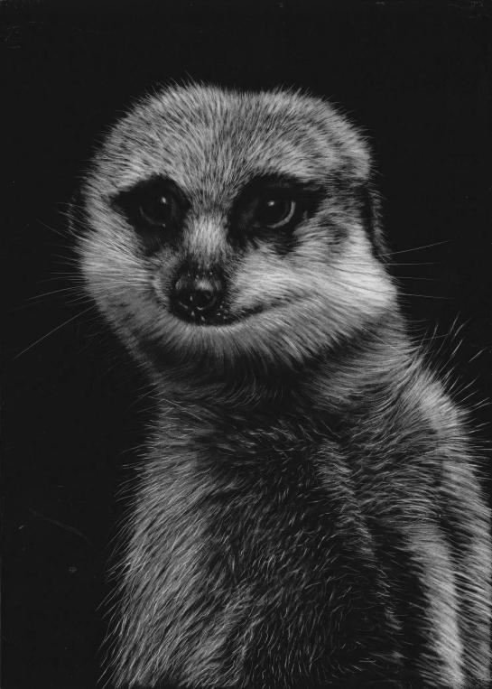 Meerkat middle middle 05