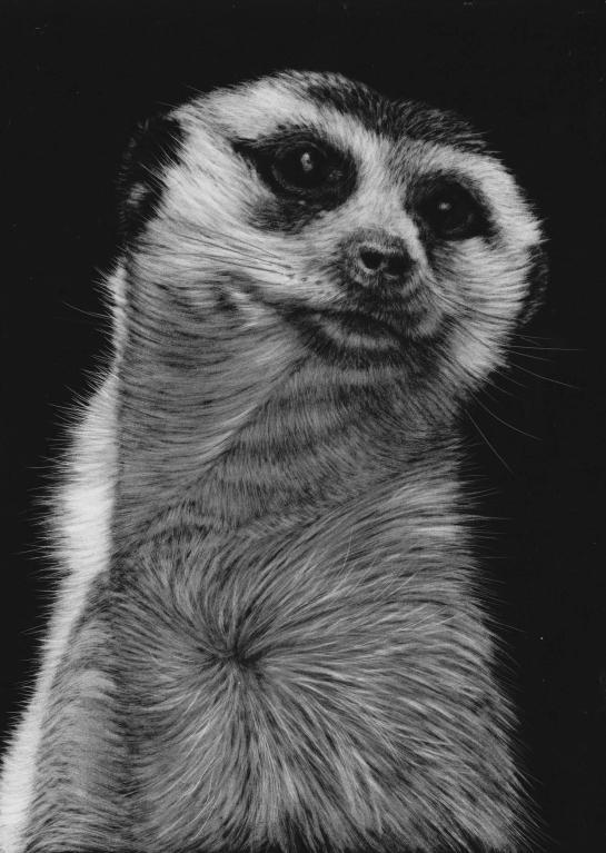 Meerkat top middle 04