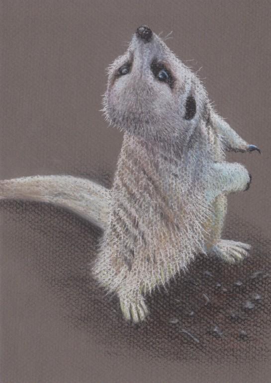 Meerkat cutie