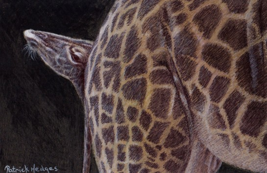 giraffe-a-mothers-protection-ink-and-pencil